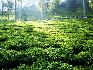 pemandangan kebun teh,  http://www.outboundindonesia.com/,  085755059965