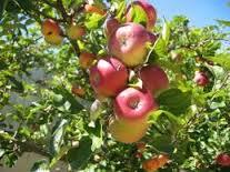 petik apel batu malang, www.outboundindonesia.com, 085755059965